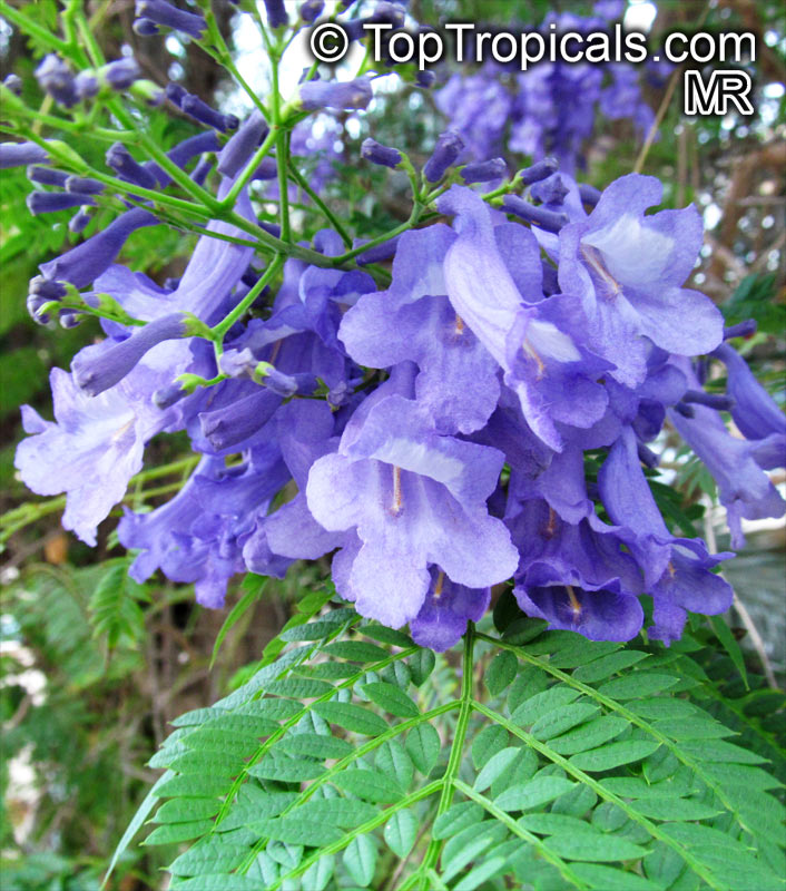 #Jacaranda mimosifolia is one of the most impressive ornamental trees with beautiful blue, violet or purple flowers and attractive, oppositely paired, compound leaves.   #floweringtrees #ornamentalplants #FridayFeeling