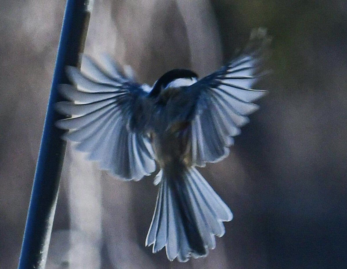 #FridayVibes seeing all the feathers of a little chickadee💙