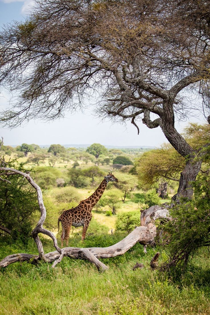 A giraffe rests underneath at tree in Tarangire National Park, Tanzania  Let's travel together for best vacation with unforgettable experience 😊  #nature #NaturePhotography #TrueBeauty #Africa #Travel #TravelBuddyNG #Switzerland
