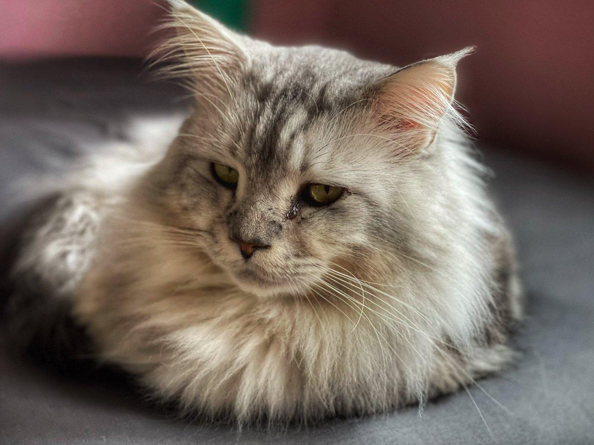 Jackson 🐈📸.  #shotoniphone12promax  #mainecoon #cat #CatsOfTwitter #iPhone12ProMax