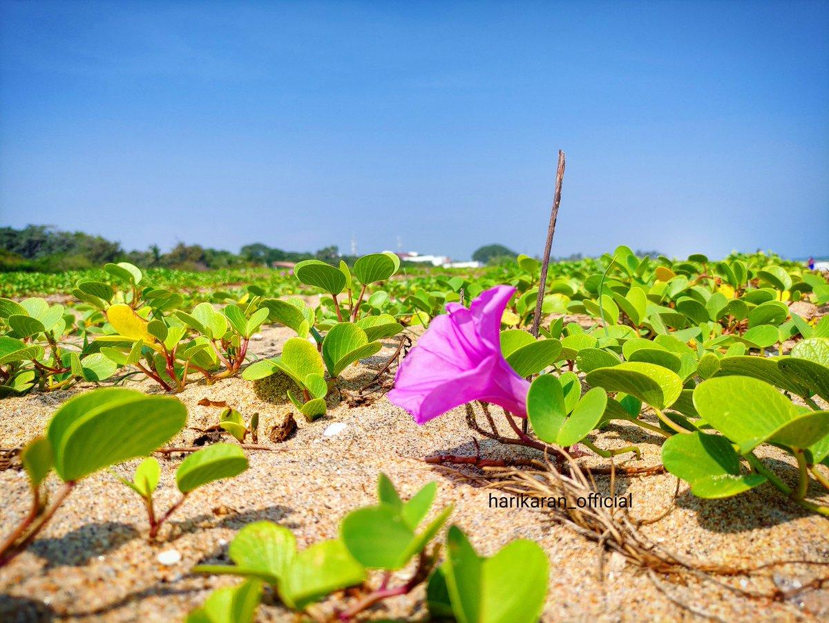 ☀Sunny Beachside random clicks 📸🌸🌱💚🥰 . . . . . . #flowers #nature #love #flower #photography #flowerstagram #naturephotography #art #garden  #photo #flores #naturelovers #beach #travel #summer #sea #nature #sunset #love #photography #beachlife #ocean #sun #photooftheday