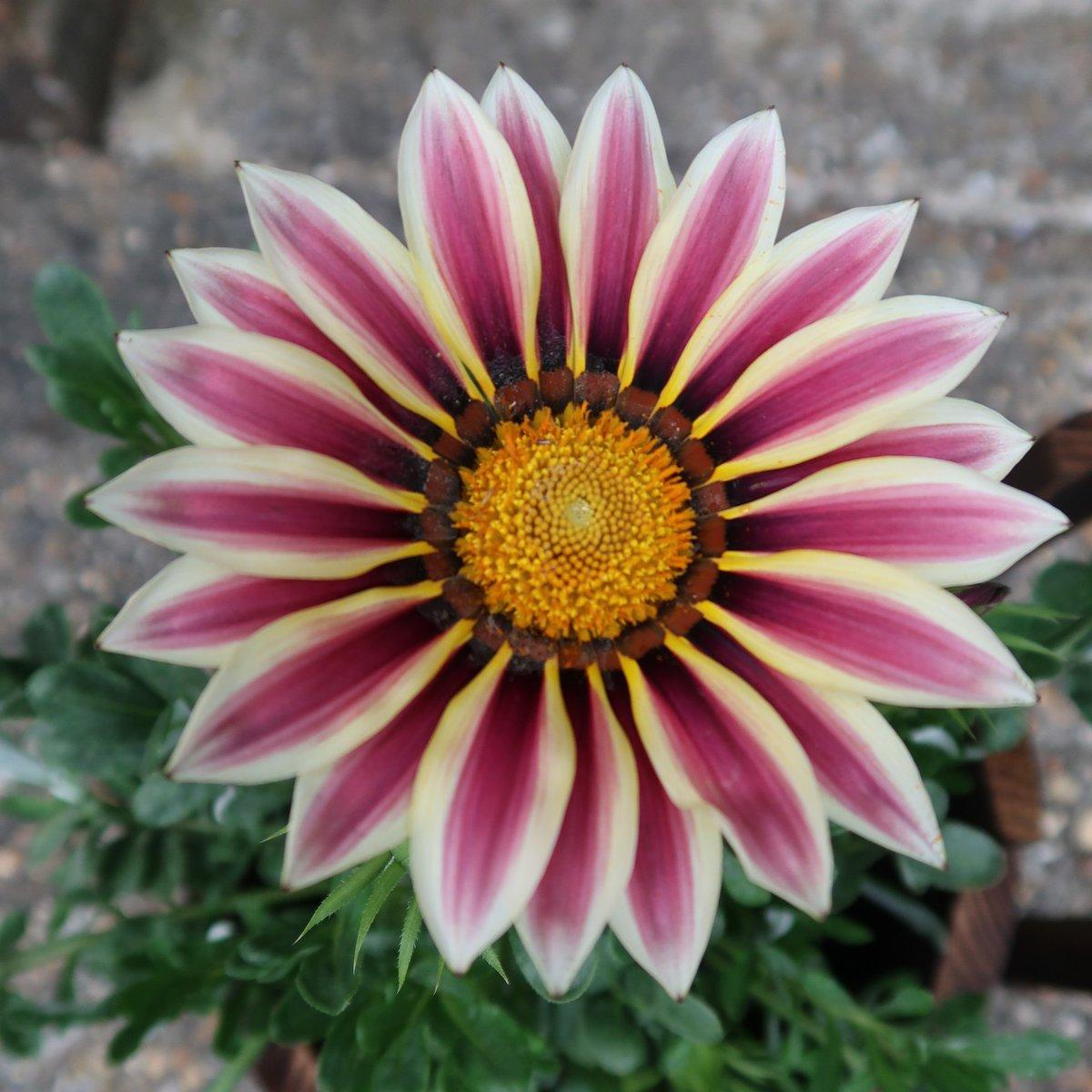 #FlowersOnFriday theme 'a single flower'. #mygarden #flowers #garden #art #photography 🐌🍄💗