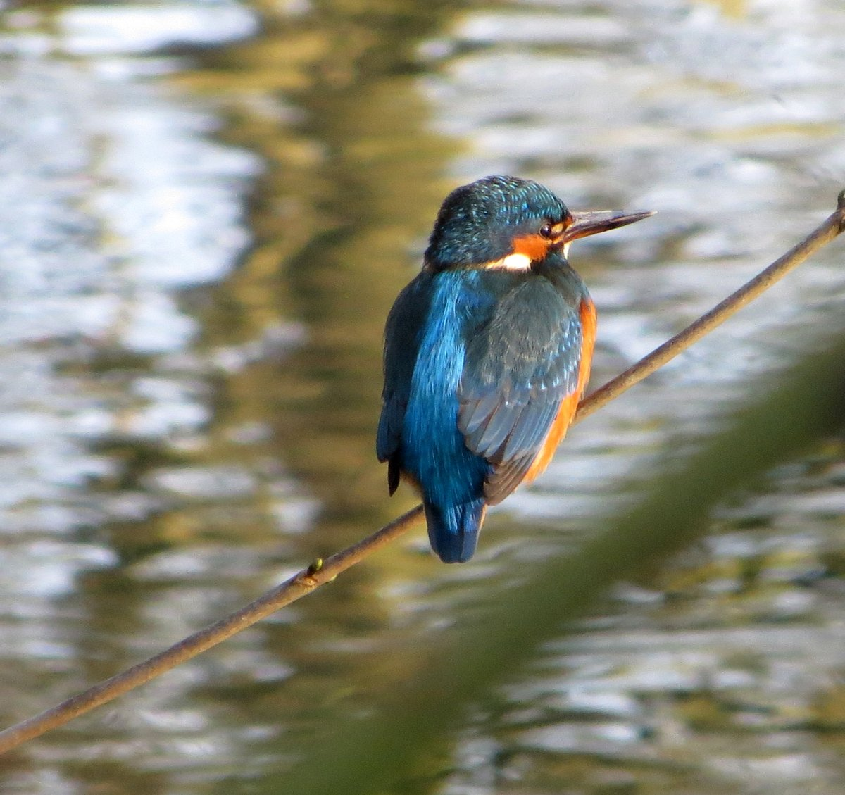 a lunchtime walk today around The Dingle in Porthill. I spend more time watching the kingfisher than I do walking ! Such a beautiful bird to watch.  #kingfisher #nature #staylocal #staffwildlife #winterwatch #RSPB #birdwatching