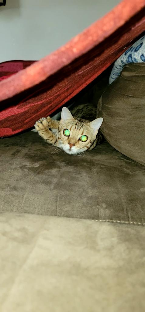 Happy #fridaymorning !! Wee's doin a lil #zoomies wit dada & the fort he built for me on the couch 😻😻😻  #CatsOfTwitter #CatsOnTwitter #Cats #bengalcat #FridayMotivation