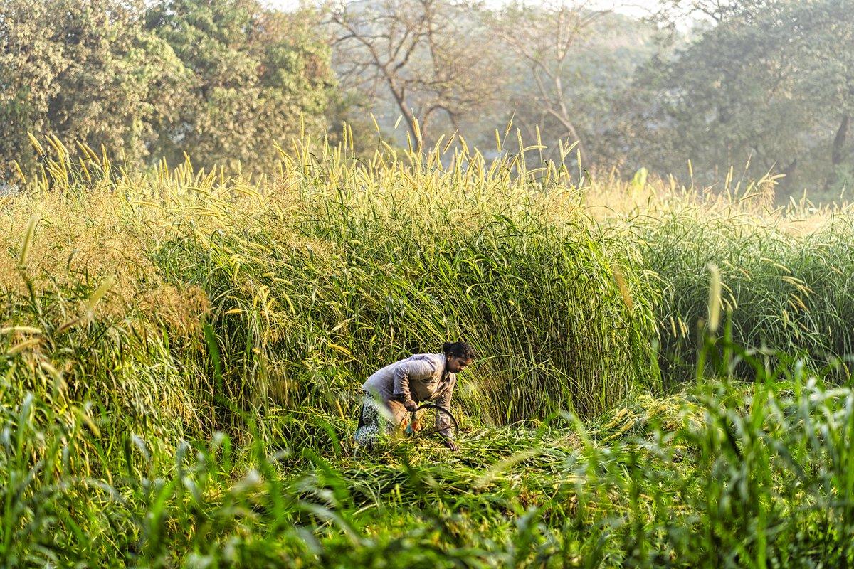 Harvesting the wild grasses of Aarey Colony.  Image by @CraigBoehman   #Mumbai #India #grass #Aarey #AareyColony #aareyforest 37s