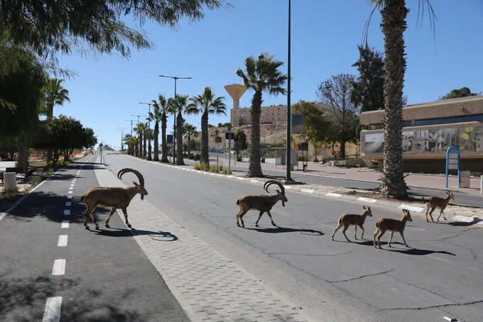 Israels ibex make the most of lockdown – in pictures Photo
