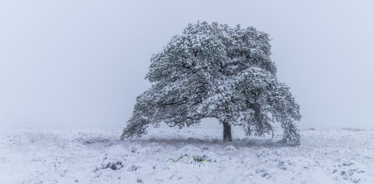 Lonesome Dove  Another of my local Scots Pines in a blizzards.  #Stirling #Scotland #Snow