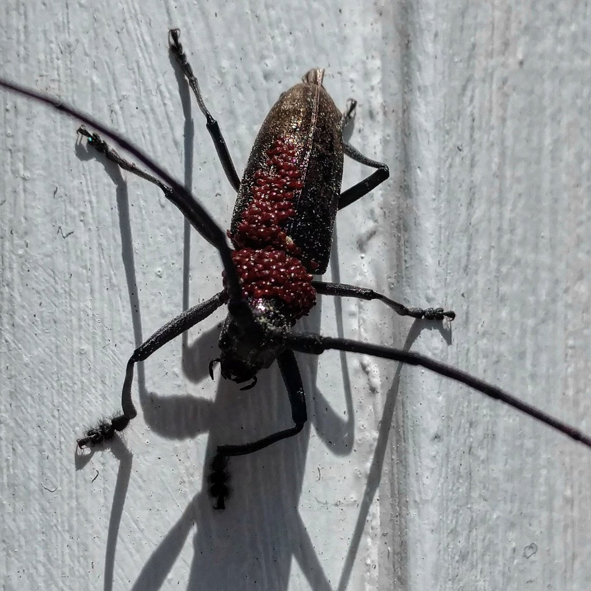 White-spotted Sawyer Beetle (Monochamus scutellatus)  #wildlife #insect #fauna #beetle #sawyerbeetle #monochamus #longhornbeetlefamily #cerambycidae