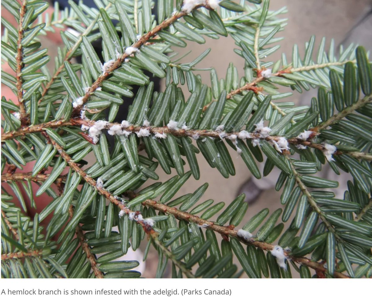 Happy #FeatureFriday! Today we'll be learning about #HemlockWoolyAdelgid: an aphid-like #insect that infests #Hemlock Trees. HWA feeds on nutrient and water storage cells at the base of hemlock needles, which causes needle loss and stem dieback, resulting in tree death.