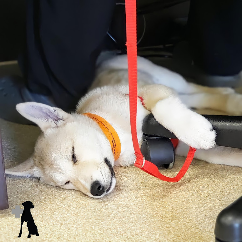 Being cute is exhausting 😍! Simba taking a quick snooze under the desk when our Neurology team finishes up his notes.  #veterinaryhospital #veterinarycare #veterinary #petpatient #animalhealth #pethealth #animals #pets #petcare #animalcare #dogsoftwitter #WVERC #westfordma