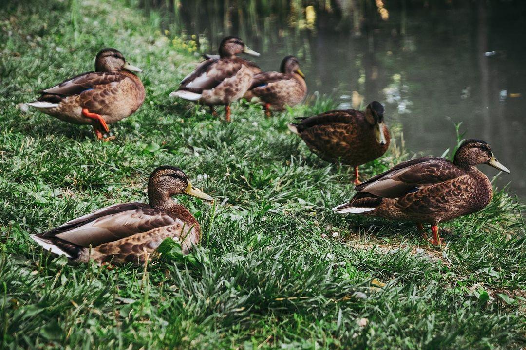 "Duck, duck, duck sitting in the grass on Ligeti tó. Ifjúsági park ""Liget"" (aka Népház Liget locally), Tatabánya, Hungary, 2019. • #tatabanya #duck #birds #grass #animal  • #hungary #europe #magyarorszag #magyarinsta #instahungary #instahun #visithungary #magyarország #ikozoss"