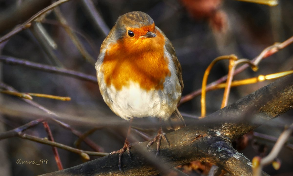 A Five-Star Robin takes in the late afternoon sunshine in Hexham today ... #Hexham #Northumberland #Robin #Nature #Birds #Wildlife #UK #Ornithology #FridayFeeling @Natures_Voice