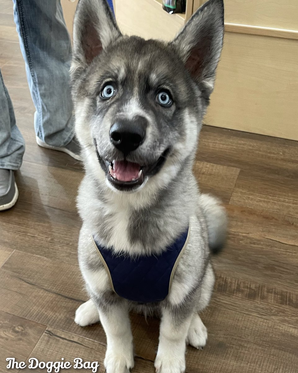 Looking Good Loki!🤩 That New #Harness from The Doggie Bag Bag looks Marvelous!😎  #loki #husky #huskypuppy #huskylife #huskylove #dogharness #dogstyle #dogfashion #lookinggood #thedoggiebag #petboutique #shoplakeland #lakelandflorida #lakelandfl #dogsoflakeland #dogmomsoflkld