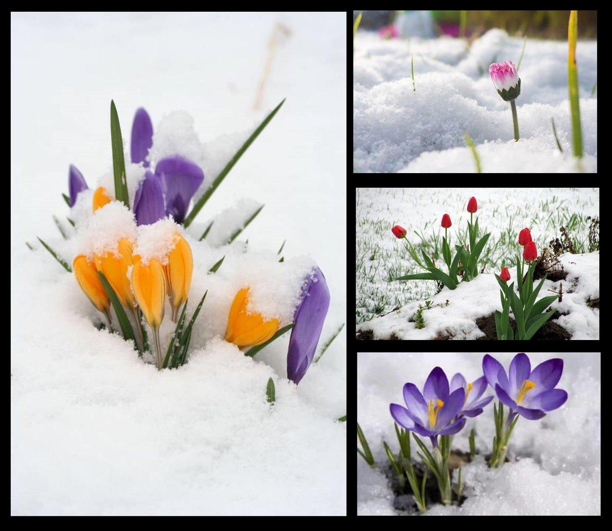 Life endures.   #powerpic #photography  #snow #flowers #colours