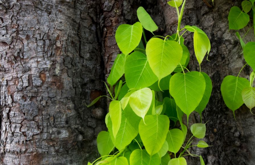 @elonmusk Peepal tree(Sacred fig) absorbs poisoning carbon dioxide and releases oxygen, this is the only tree that releases oxygen for 24 hours, so many diseases are cured by going near it and the body remains healthy. Therefore it is worshiped in the India.