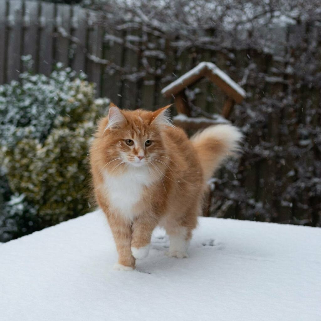 Brr, snow makes my paws cold 🥶    #cat #cats #kat #katten #catsofholland #kattenvannederland #catsofinstagram #weeklyfluff #junethekitty #thekittyjazz