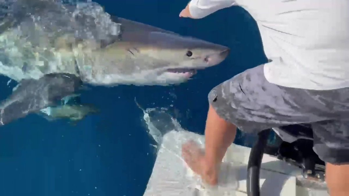 WHOA! The boaters were fishing about 65 miles off the coast of the Tampa Bay area when a massive great white shark approached, taking a bite out of one of their boat's motors. WATCH: https://t.co/3xO02ovQGJ https://t.co/7klG1W5o0y