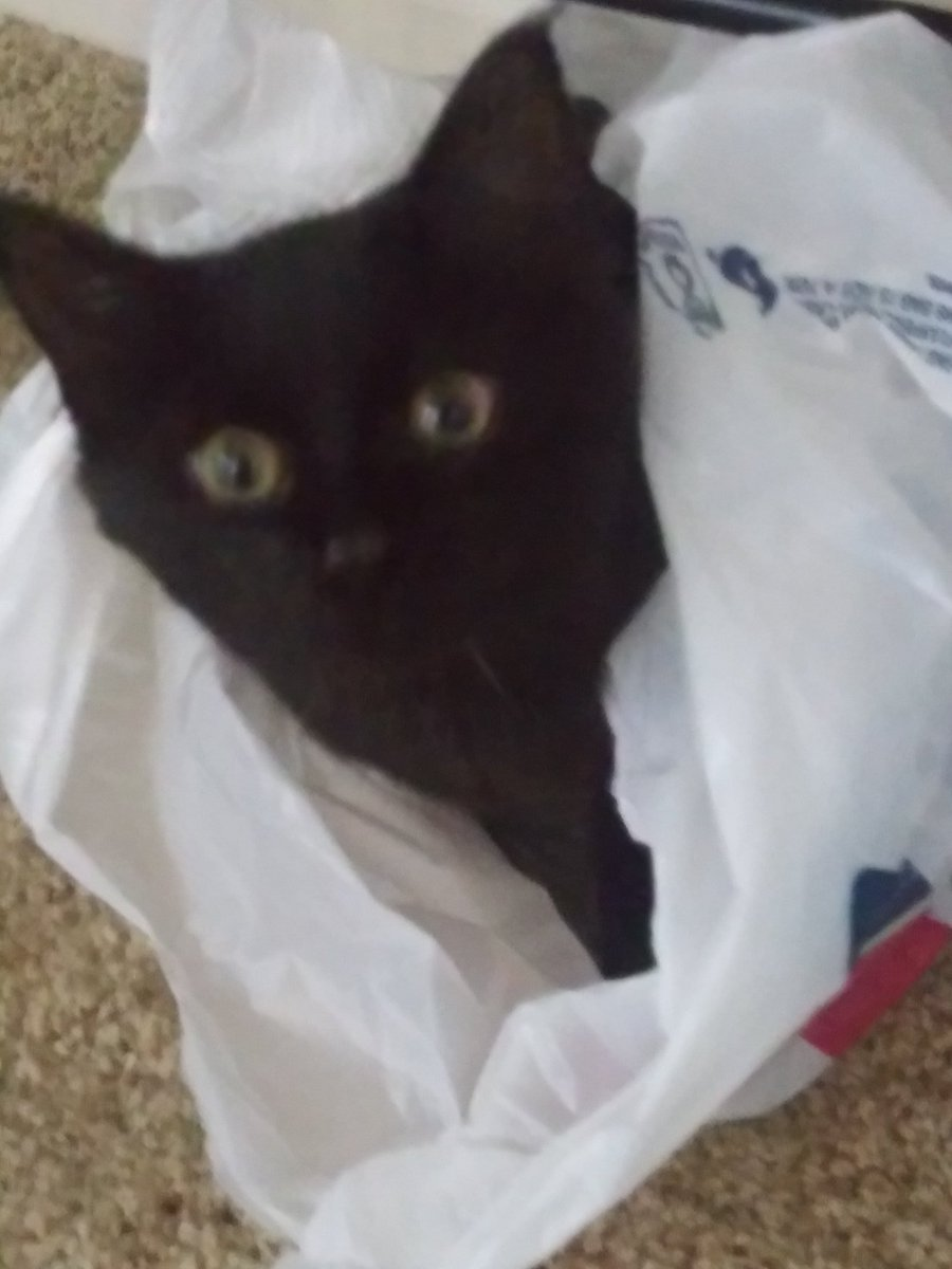 Is your kitty a bag kitty or box kitty? #relaxation #playful #bag #box #CatsOfTwitter #AdoptDontShop #cat #cats #blackcats #Kitty #cute #animals #cute #Baby #House