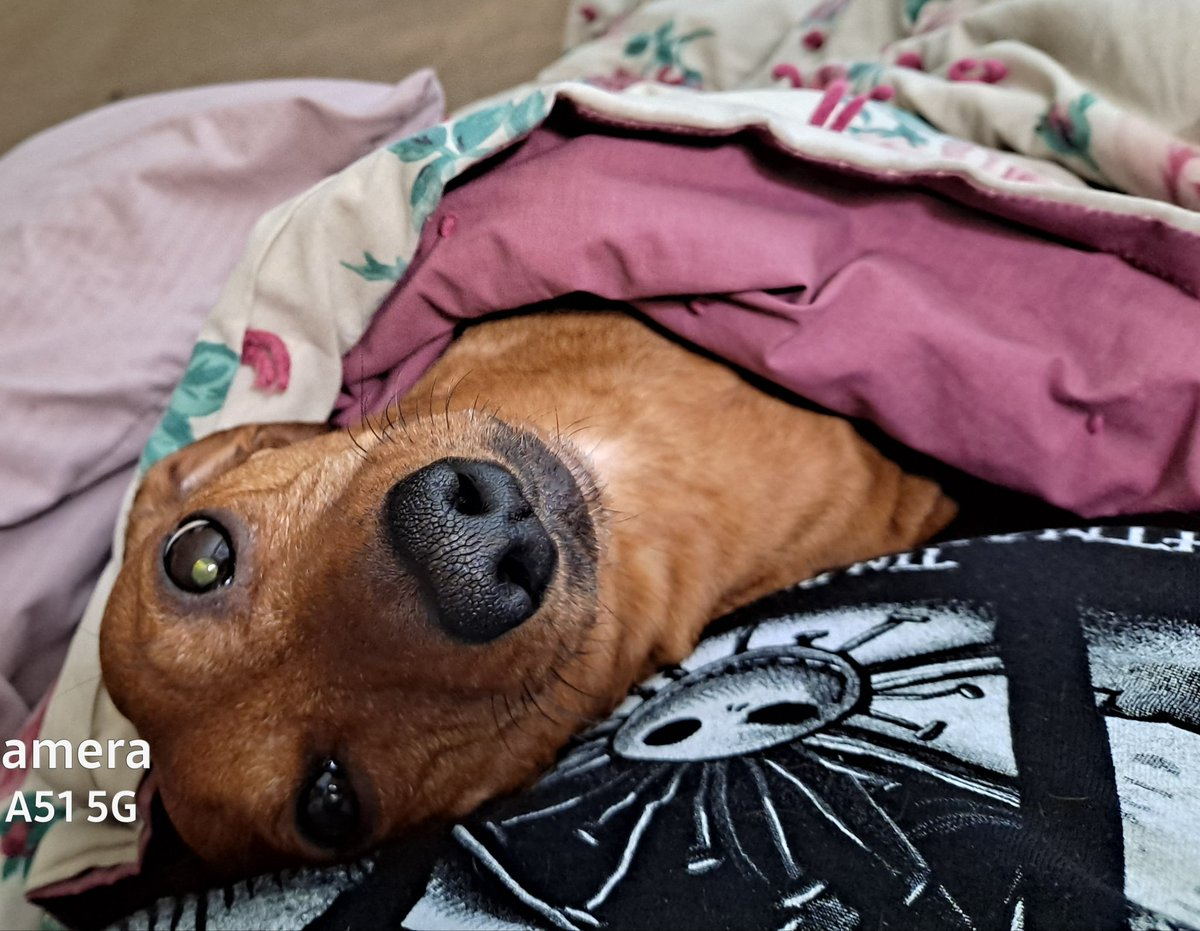 It's cold out.  Get a blankie, your favorite hooman and stay warm.  #dogsoftwitter #Dachshund #Wisdom #WINTER