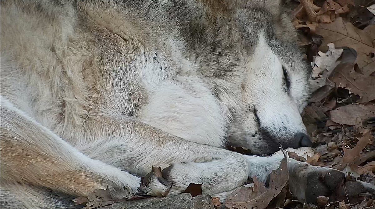 Essential. Endangered. Extremely beautiful.  Curl up with Mexican gray wolf Belle right now via live webcam ➡️