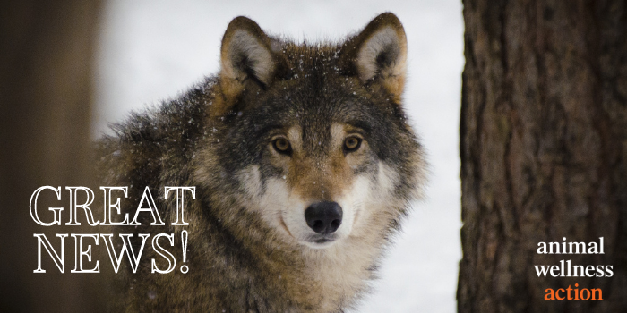 #BREAKING: The #Wisconsin Department of Natural Resources Board's just voted down an attempt to fast track a 2021 wolf hunting season!  #WI has been reckless in allowing killing of wolves.  They've dodged a bullet today, but the battle is far from over.