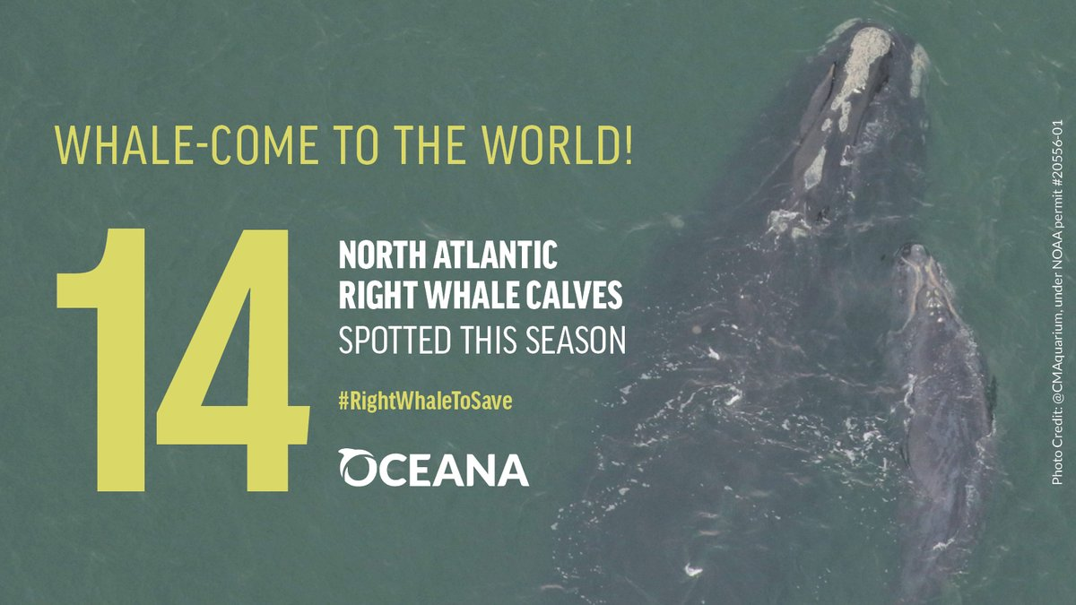 "Critically endangered North Atlantic right whales have welcomed 14 new calves this season! Recently, 12-year-old ""Champagne"" was seen with her first known calf off FL. Speak up to protect these whales from manmade threats: https://t.co/RtcsX70LRU  #RightWhaleToSave https://t.co/FnSLnhrnHK"
