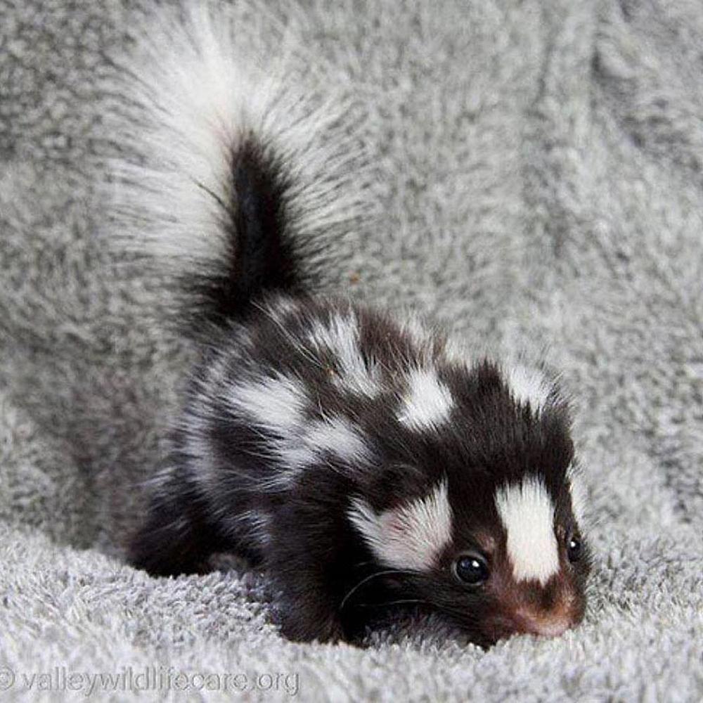 #FurryFriday:  #Babies #Baby #Animal #Animals #Skunk #Kit #SkunkKit