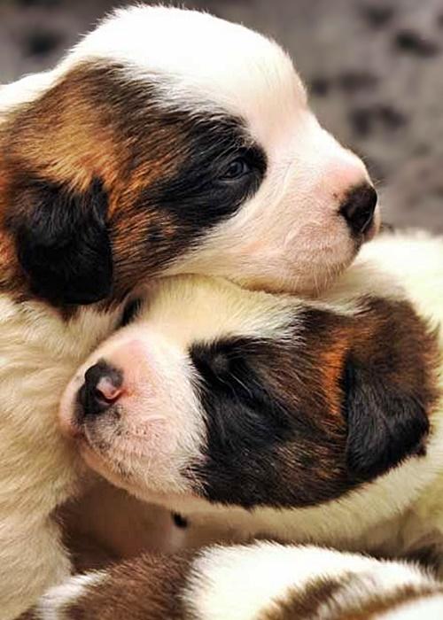 #FurryFriday:  #Babies #Baby #Dog #Dogs #Puppy #Puppies #SaintBernard #SaintBernardPuppies