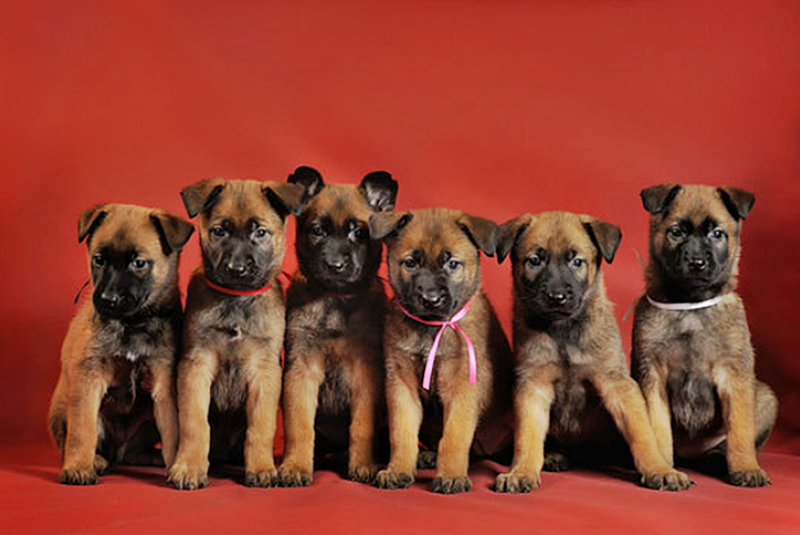 #FurryFriday:  #Babies #Baby #Dog #Dogs #Puppy #Puppies #BelgianShepherd #BelgianShepherdPuppies
