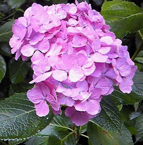 おはようございます 雨の日は 紫陽花に会いたくなる