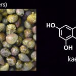 Happy #PhytochemicalFriday! Today: kaempferol - a bitter-tasting compound that is found in a wide variety of fruits and vegetables, particularly capers - the flower buds of Capparis spinosa (Brassicales). Kaempferol is an antioxidant and features in many traditional medicines.