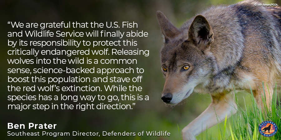 🚨 Breaking news! A U.S. district judge just announced that our preliminary injunction has been granted, once again allowing captive #RedWolves to be released into the Red Wolf Recovery Area. We will update our members with more information soon! 🙌💚🚨