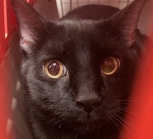 """Caterpillar doesn't want to """"bug"""" you, but this panther boy was dumped by his owner and needs a new furever home this time. He is only 2 yrs old and would love to meet you!"""