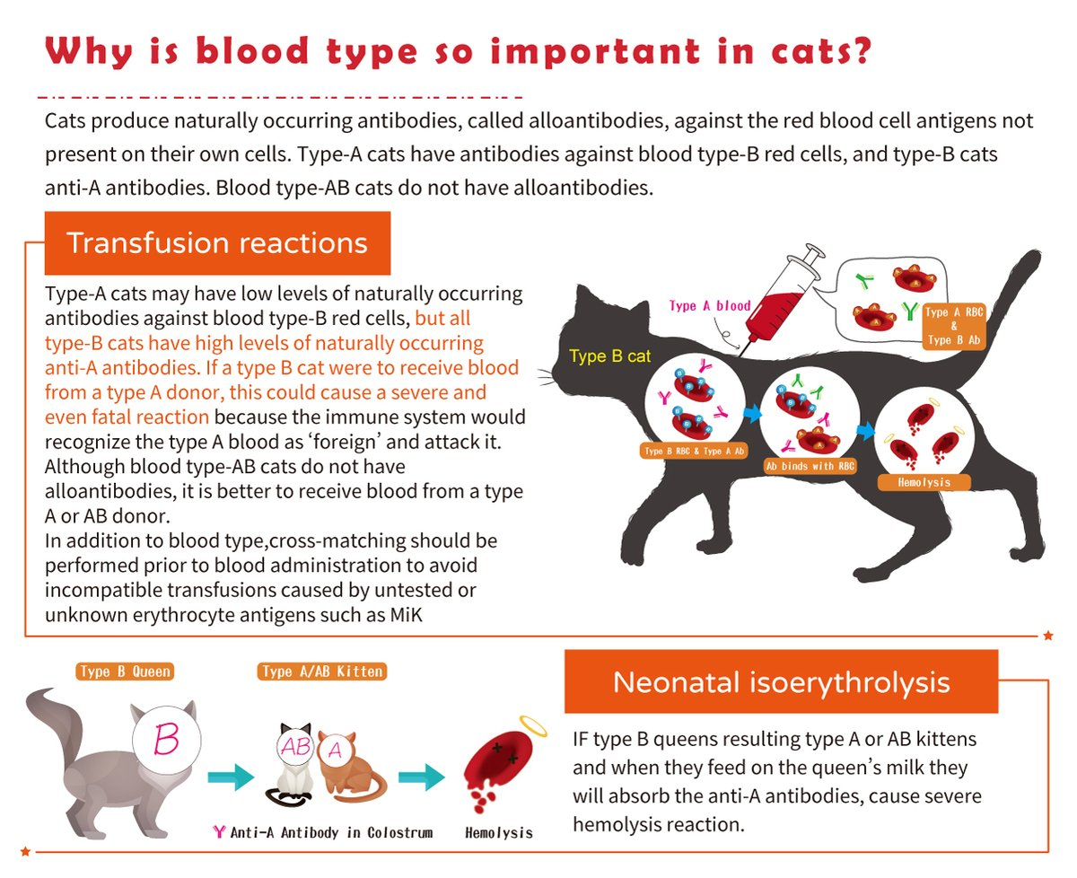Cats produce naturally occurring antibodies, called alloantibodies, against the RBC antigens not present on their own cells. Knowing your cat patient's blood type is important to avoid transfusion reactions and neonatal isoerythrolysis.  #ScienceforAnimalCare #animalhealth