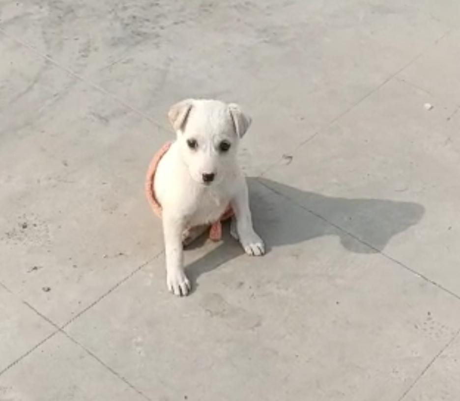 #AdoptDontShop This little puppy, currently in foster care, needs a loving family #Varanasi 🐶   To adopt her, please 📞 8932877651 📧harry3797@gmail.com   RT!