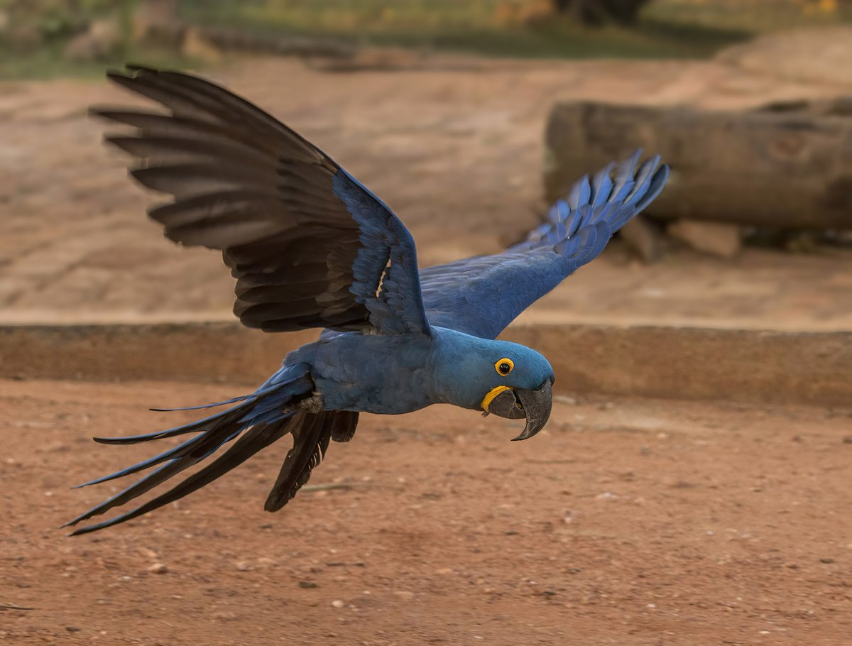 Picture of the day from #WikimediaCommons: Hyacinth macaw (Anodorhynchus hyacinthinus) in flight  📷 2021-01-23    #Photography #PhotoOfTheDay #Anodorhynchus #Birds