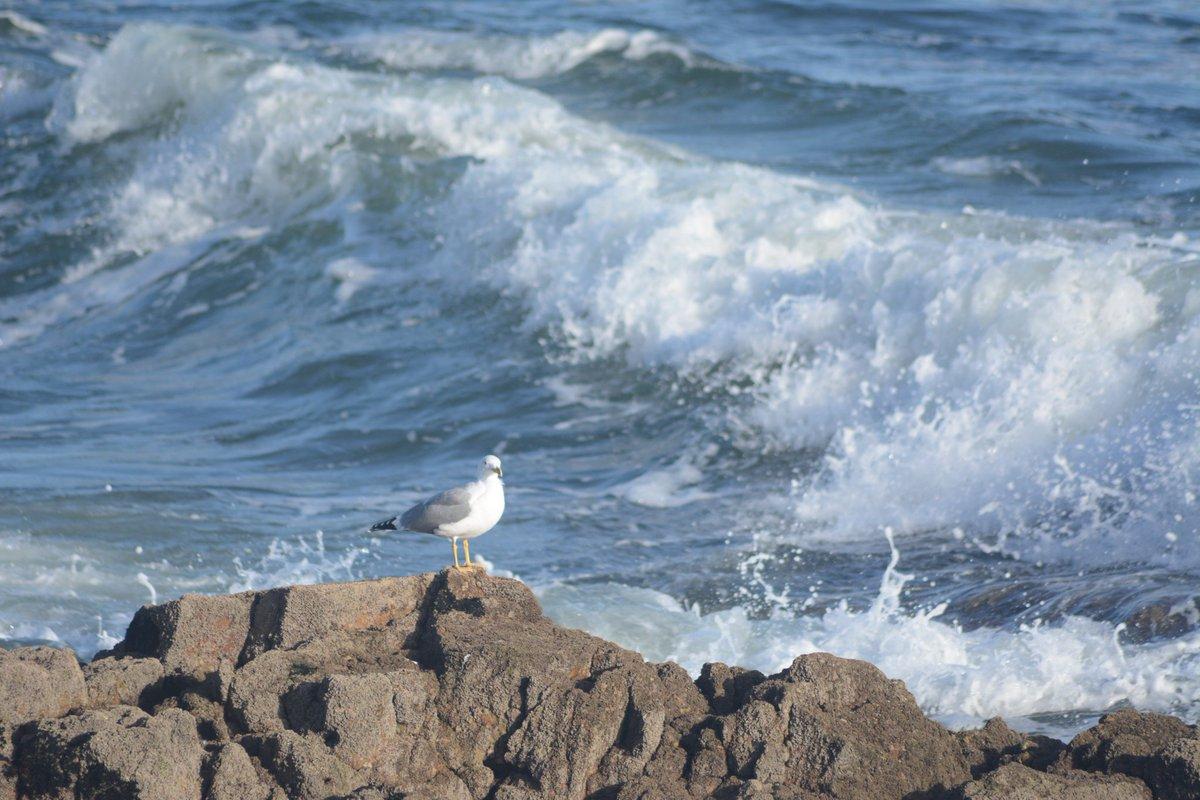 Bom dia! Bom fim de semana! Good Morning have a nice weekend!! 🙏👍🙂👌 #portugal #cascais #birds #photography #photooftheday #naturephotos #nature #natureza #nofilters #free #rocks #ocean #water #agua #mar #waves #gaivotas