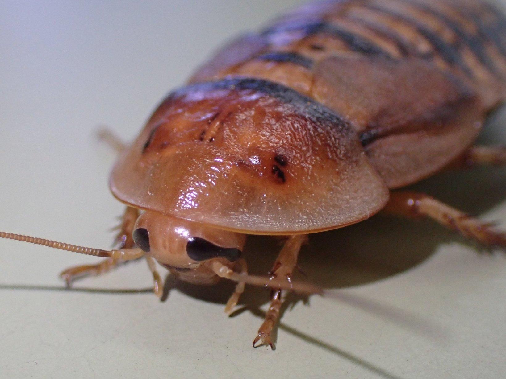 ゴキブリ アルゼンチン モリ