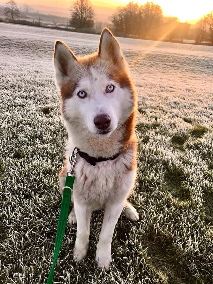 It's a cold and frosty morning here at Evesham! Cara is waiting to head out for a home visit with her new family 🥰 @DogsTrust #dogstrust #husky #sunrise #AdoptDontShop #rescuedog #adogisforlife #evesham #worcestershire