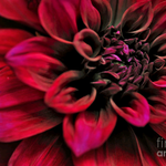 Image for the Tweet beginning: #Shades of #Red - #Dahlia