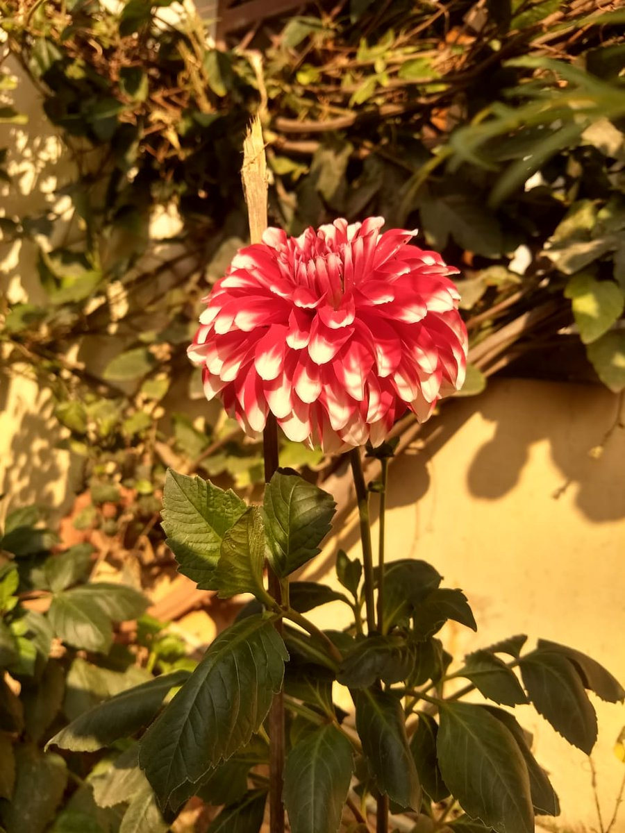 Dahlias have a way of capturing our hearts.  With every shape, size and color imaginable it is every flower lover's dream!  On our last property, we always had a small patch designated to dahlias.  #NaturePhotography #RockstarEditor #flowersforvases #photography ! #My click 🌸