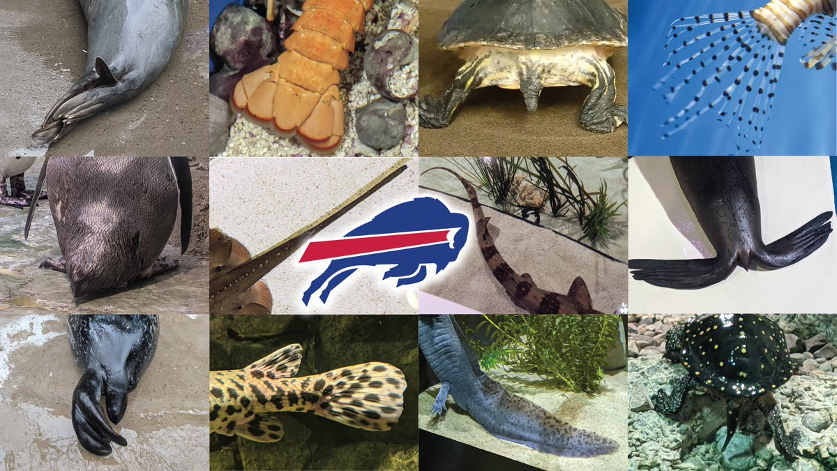 It's time to TAIL-gate for the @BuffaloBills and we're on it!  #buffalobills #tails #animaltails #nfl #playoffs #nflplayoffs #billsmafia #BUFvsKC #ChampionshipSunday #championshipgame #championship #afc #AFCChampionship