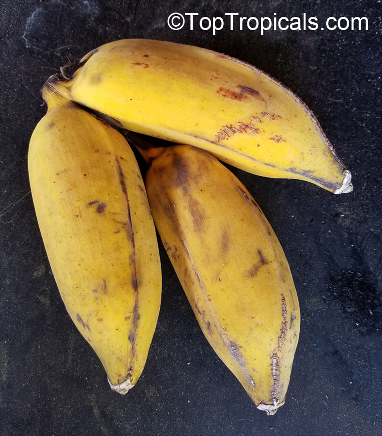 #Musa - #Banana Manzano (Apple Banana). This cultivar grows 10-12ft tall. Plump, slightly curved fruits, 4-6in long. Skin has yellow color. Flesh is firm but pleasantly sub-acid when fully ripe; it has apple-scented.   #exoticfruits #SaturdayMorning