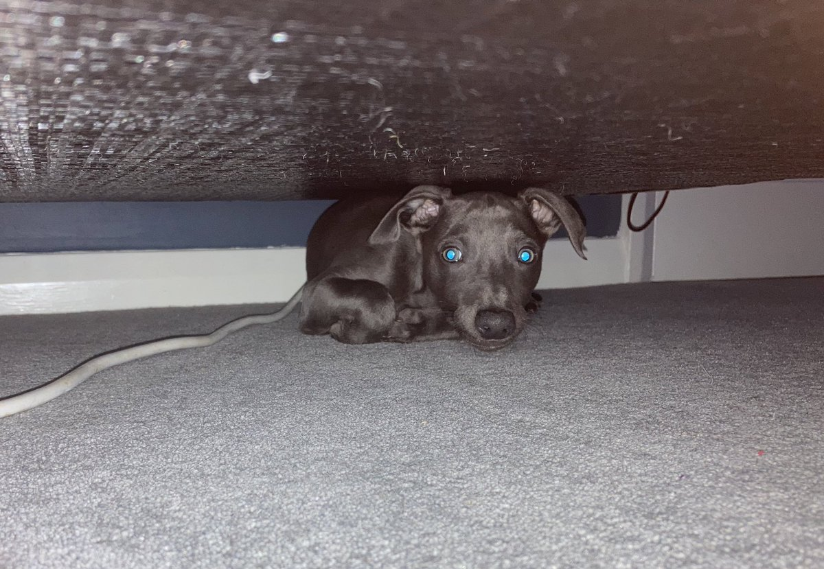 Every so often, things go quiet and I wonder what silent chaos Rolo is causing and then I find him under the sofa, wedged in, just chilling. Obviously... 🤦‍♂️ #dogsoftwitter #Dog #doglife #dogfriendly #dogs #dogsofinstagram #hidingplace 🐶🐶🐶