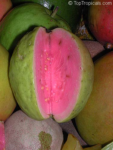 #Psidium guajava - #Guava Ruby Supreme is considered by many to be one of the best guavas for the home garden. This highly productive cultivar produces pear-shaped, yellow skinned guavas with thick,pink flesh.    #exoticfruits #edibleplants #SaturdayMorning