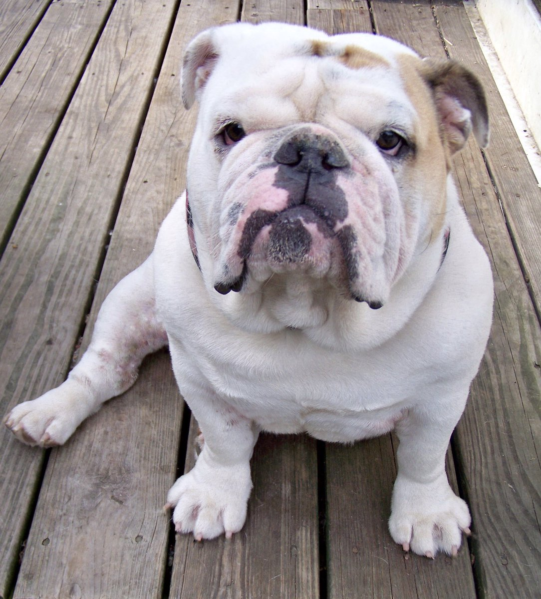 Gertie the Bulldog... Donut in one Paw... Confidence in the Other... As a Matter of Fact... She was The Queen of All Bulldogs Love, Gertie's Family 👑🍩🐾🐶🐾 #gertiethebulldog #gertiegotdonuts #queenofallbulldogs #SaturdayThoughts #bulldog #dogs #Dog