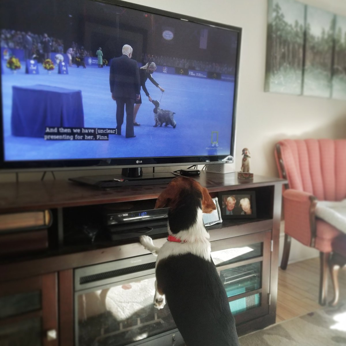 My dog is watching the @TheNatlDogShow. He's rooting for the beagle, who came in fourth in the hound group. #nationaldogshow #beagle