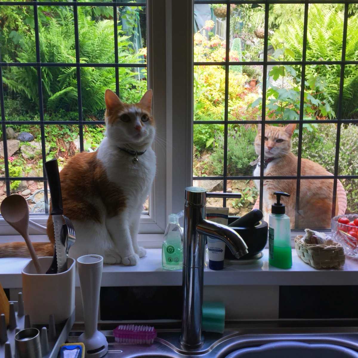 If I ignore him, he might just go away! 🐈   #caturday #CatsOfTwitter #gingergang #Windows #cats #saturday
