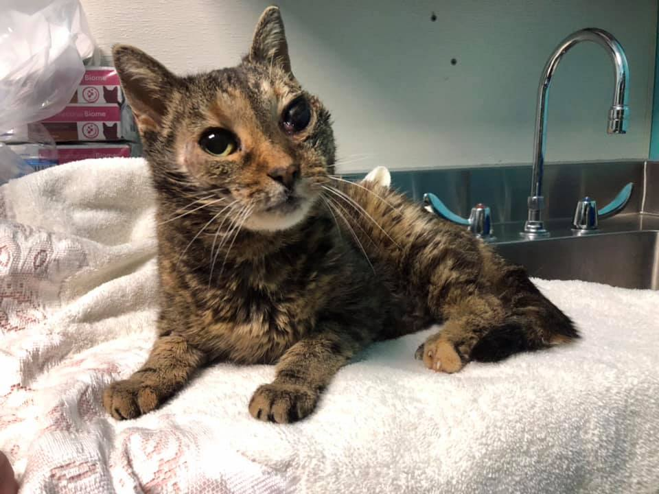 Welcome sweet Marigold This angel was found injured in a parking lot  She has unrepairable damage to a rear leg & one eye & has head trauma.  #Caturday #rescuecat #donate Donations can be mailed to: Tyson's Chance PO Box 1347  Shelbyville KY 40066 PayPal: tysonschance@yahoo.com