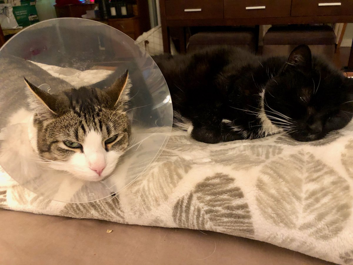 After wearing the Cone of Shame for a week, Bennie the cat is excited to get his stitches out 😼 #Caturday